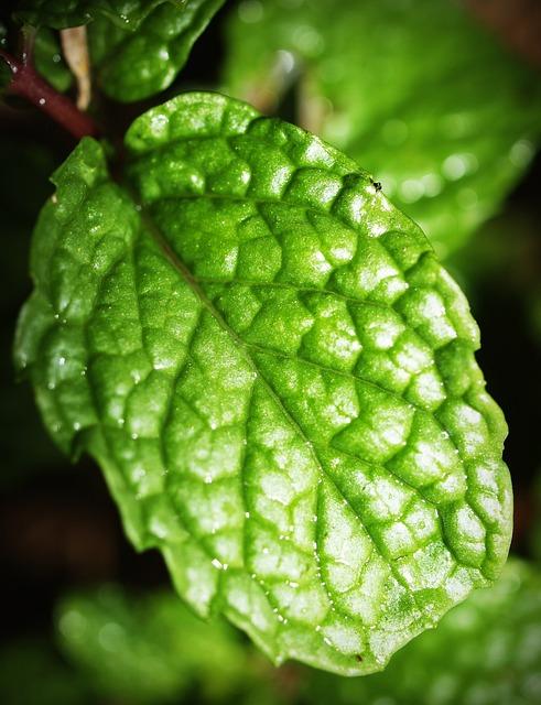 Mint, Leaf, Menthol, Herb, Peppermint, Fresh, Spearmint