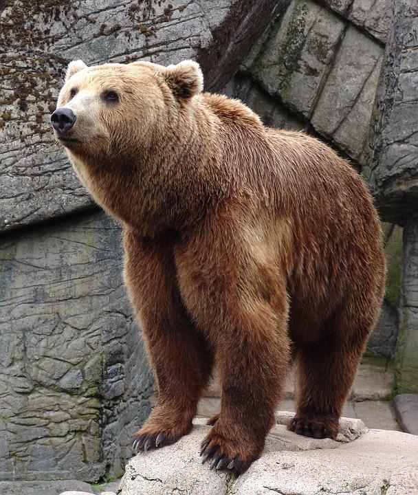 Bear, Animal, Wildlife, Wild, Zoology, Mammal, Species
