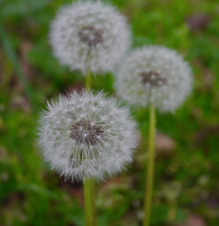 Dandelion, Fluff, Flowers, Species, Seed, White, Green