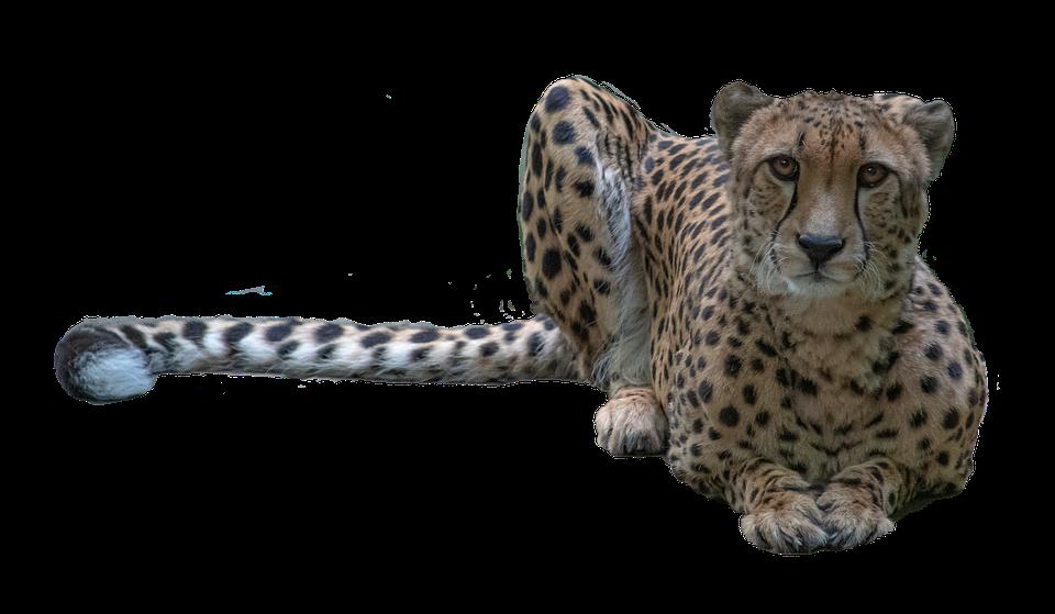 Animal, Cheetah, Mammal, Cat, Fur, Cutout, Species