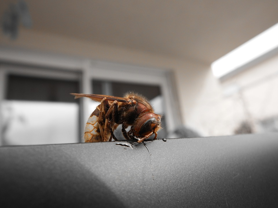 Hornet, Insect, Species Of Wasps