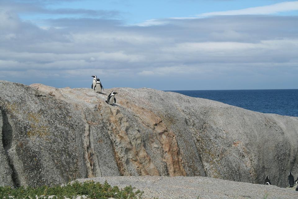 Penguin, Wildlife, Nature, Animal, Bird, Avian, Species