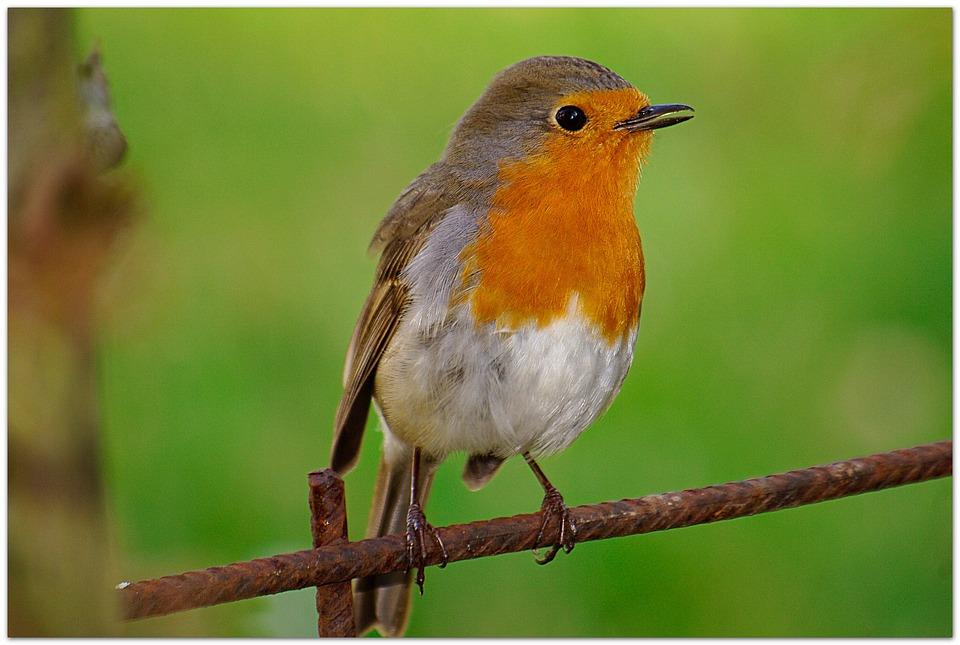 Robin, Songbird, Garden, Species, Plumage, Pretty