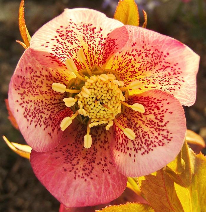 Christmas Rose, Speckled, Rose, Violet, Garden, Flowers