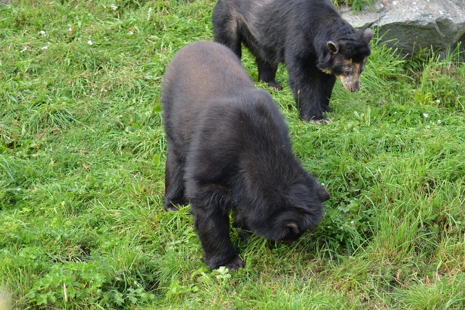 Spectacled Bear, Andean Bear, Tremarctos Ornatus