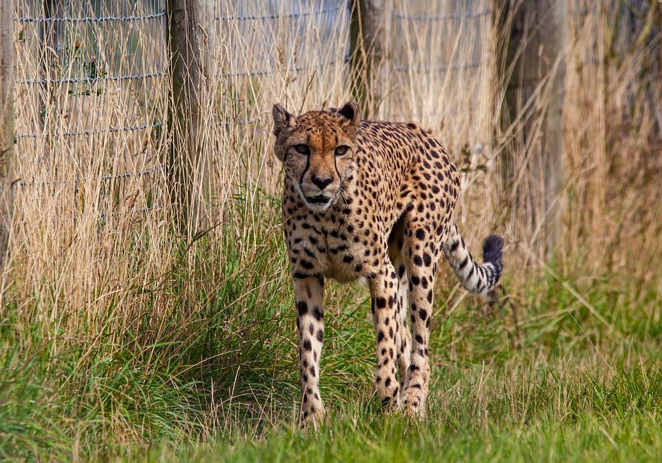 Cheetah, Stalking, Big Cat, Fast, Speed, Carnivore