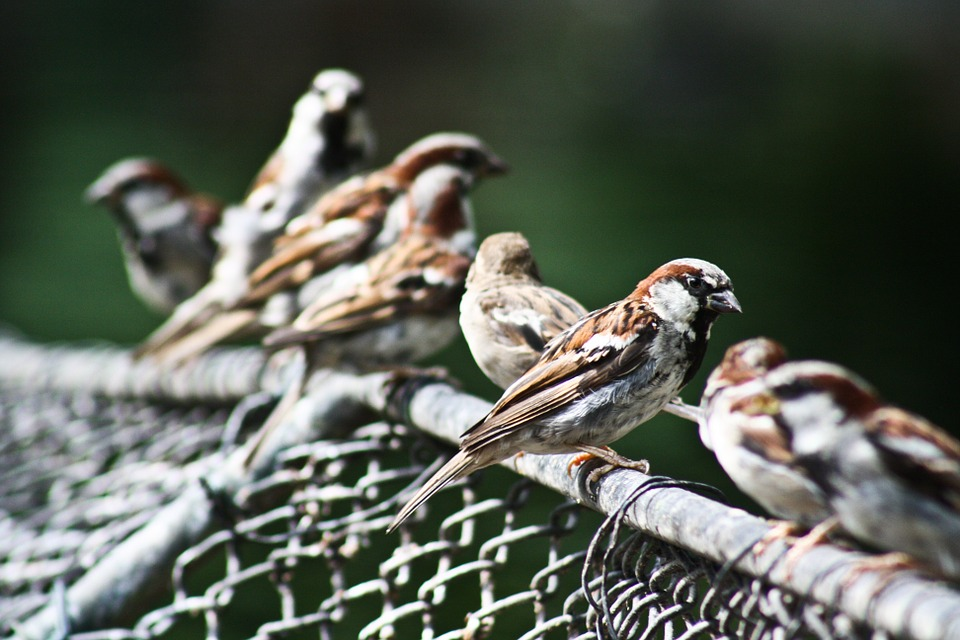 Sparrow, Bird, Sperling, Close, Songbird