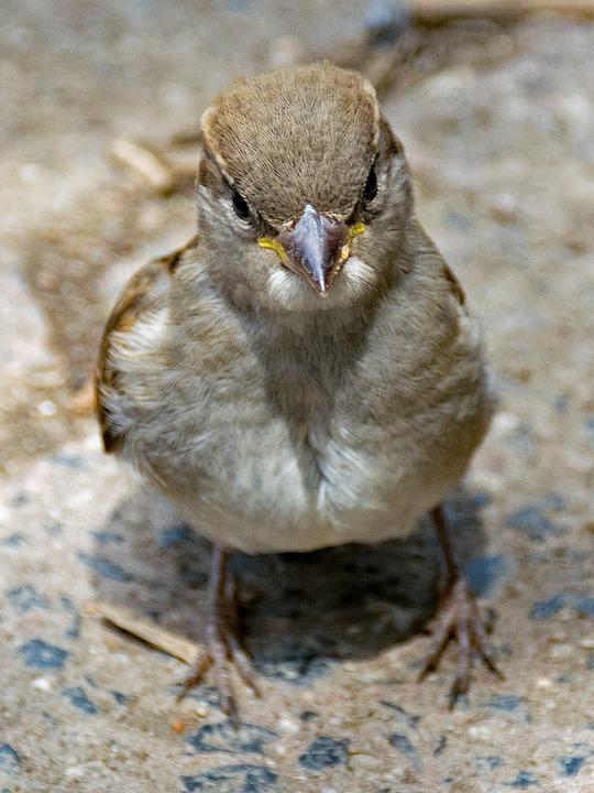House Sparrow, Sperling, Sparrow, Passer Domesticus