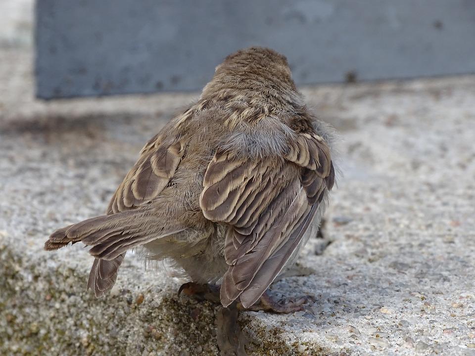 Sparrow, Sperling, Bird, House Sparrow, Nature