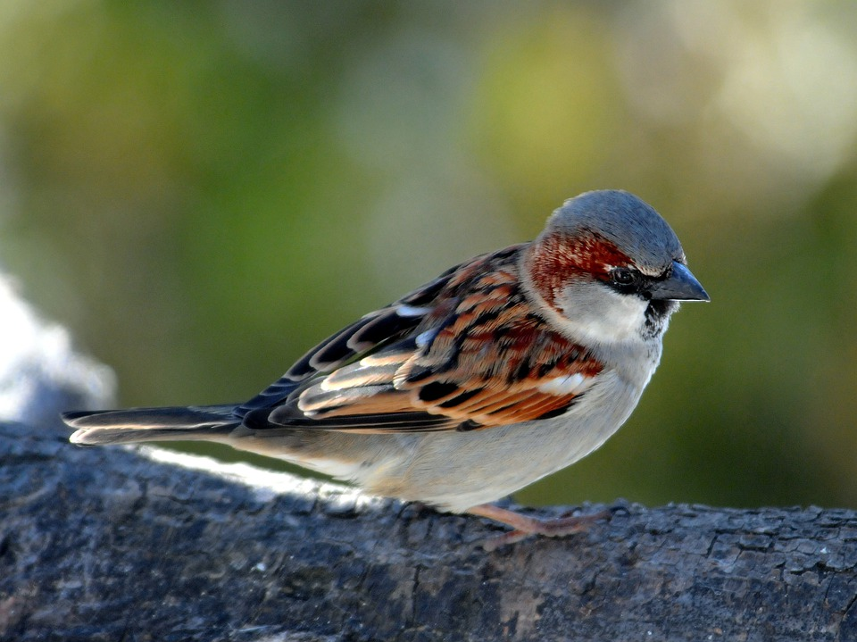 Sperling, Sparrow, Bird, Plumage, Wing, Fly