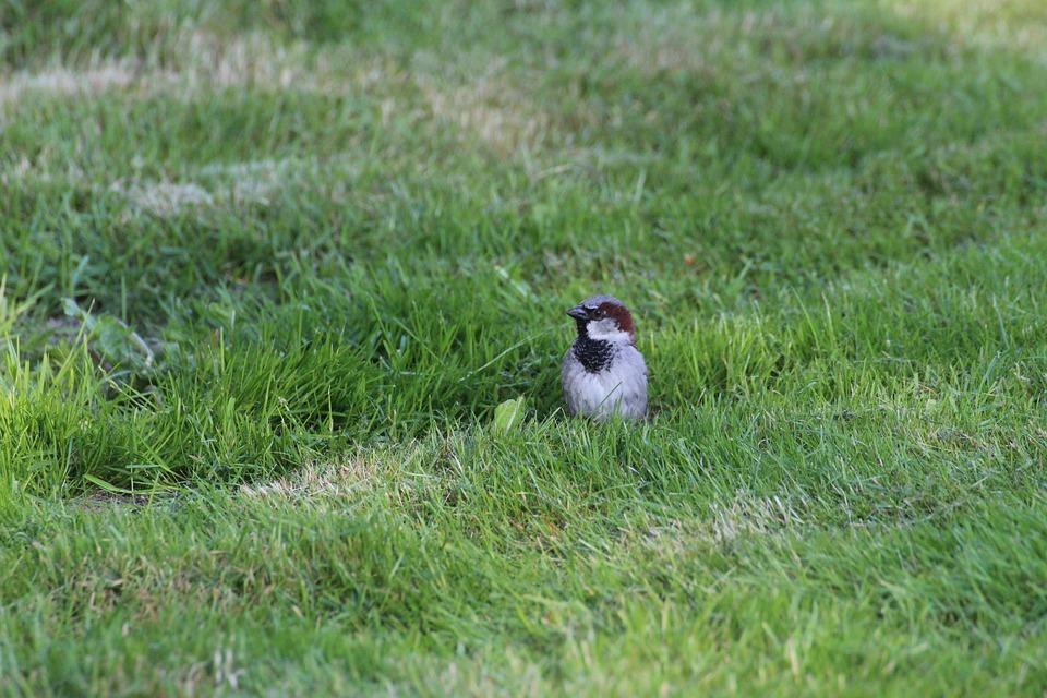 Sparrow, Sperling, Bird, Songbird, Animal