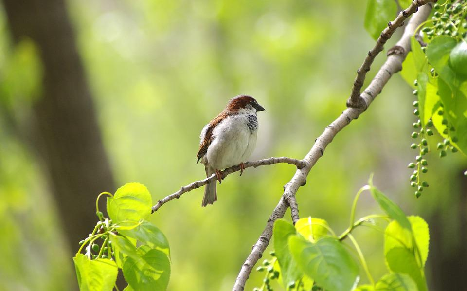 Sparrow, Sperling, Bird, Nature, Garden
