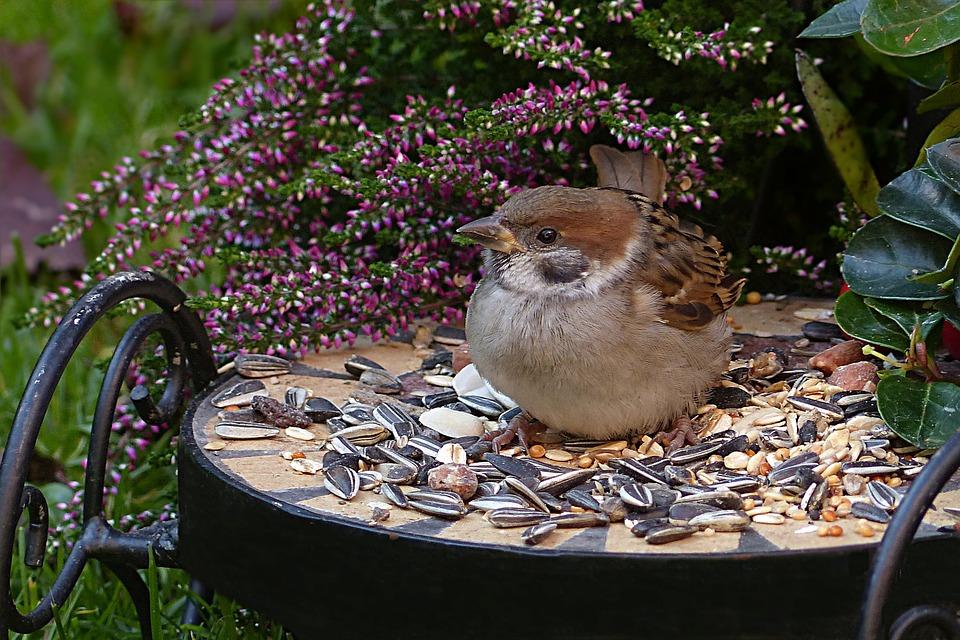 Sparrow, Sperling, Passer Domesticus, Bird, Young