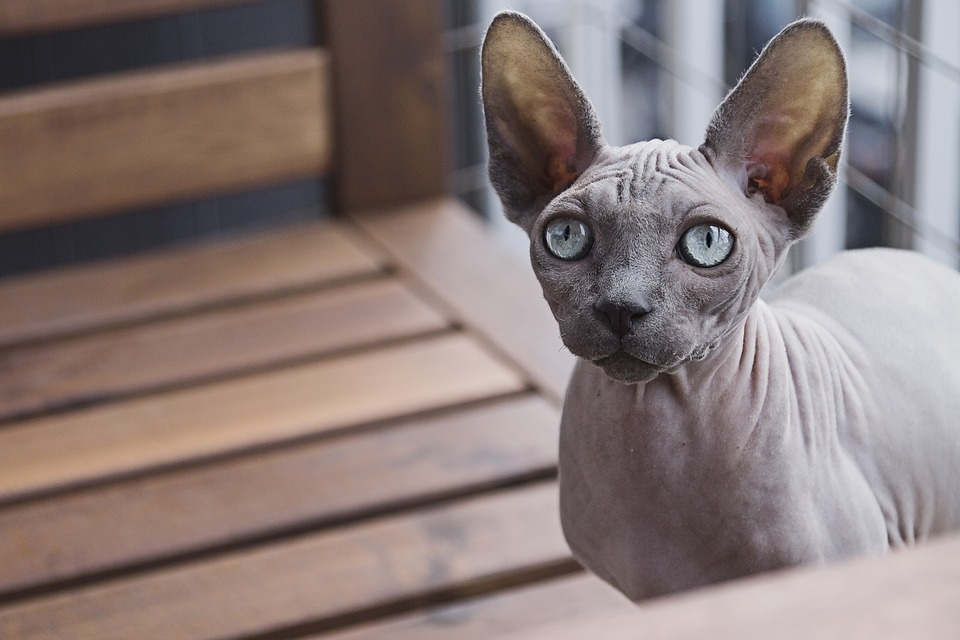 Animal, Cat, Domestic Animal, Feline, Sphynx Cat