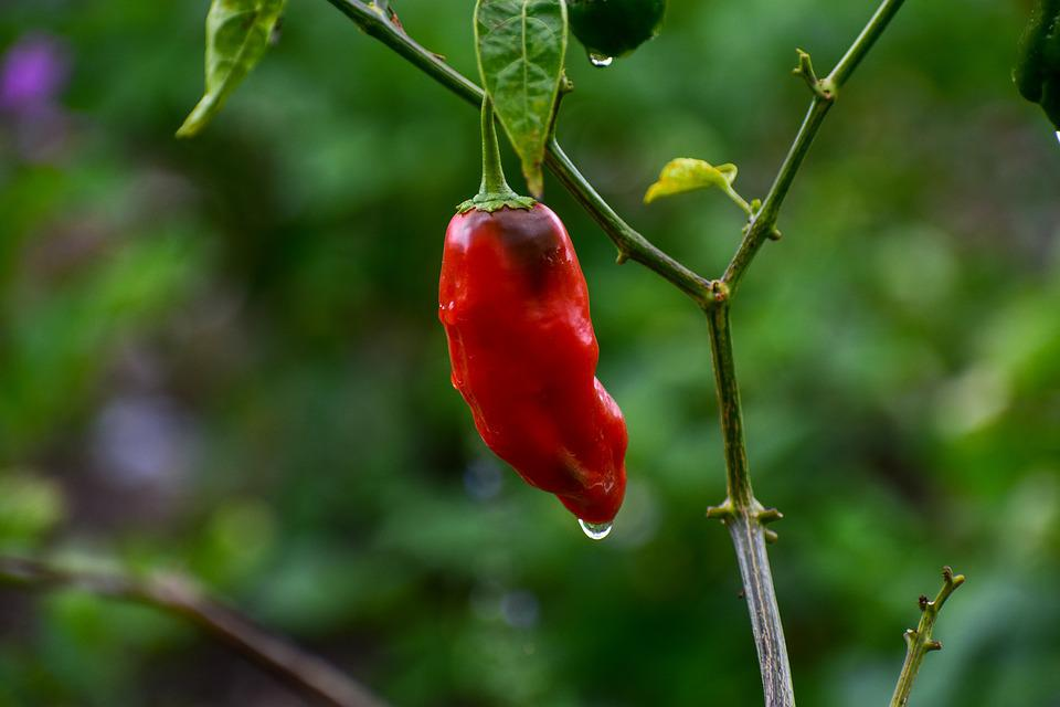 Aji, Spicy, Pepper, Red