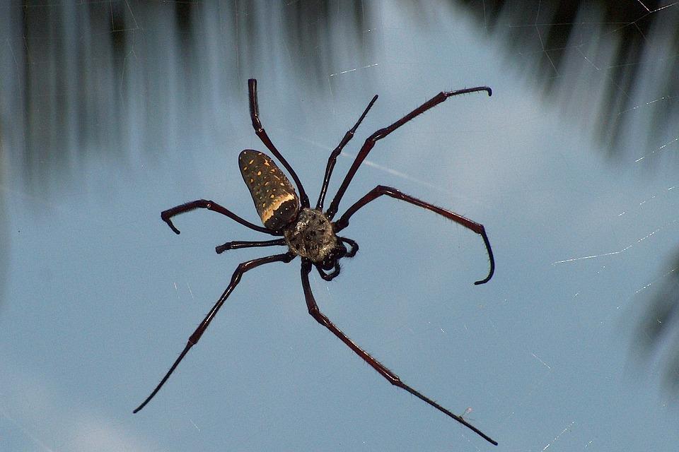 Spider, Tropics, Arachne, Insect
