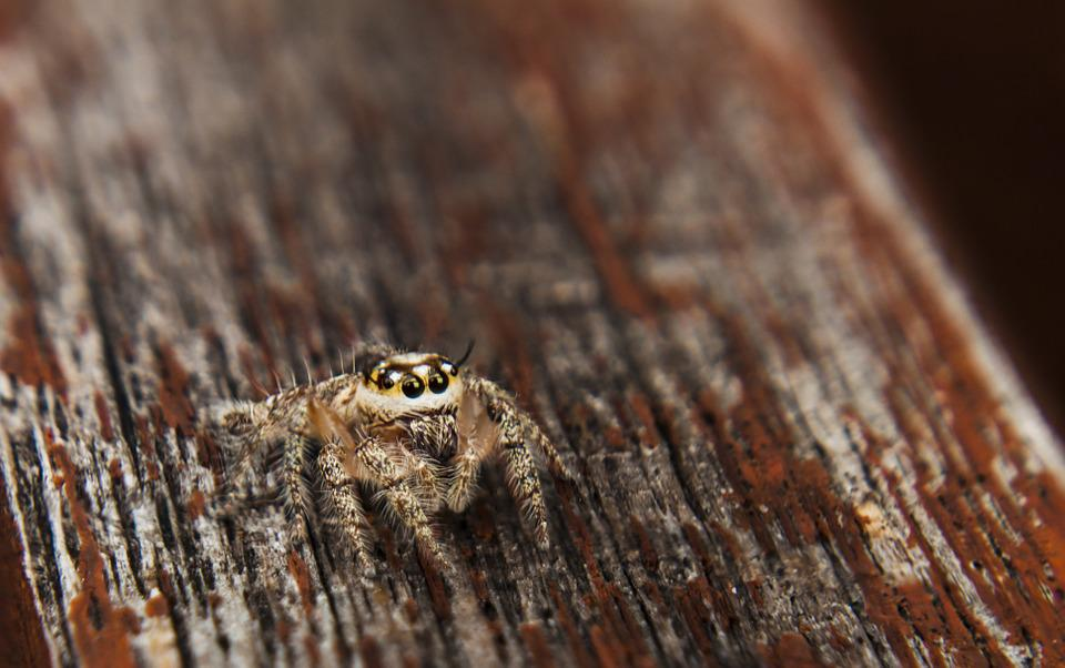 Jumpingspider, Spider, Arachnid, Outdoor