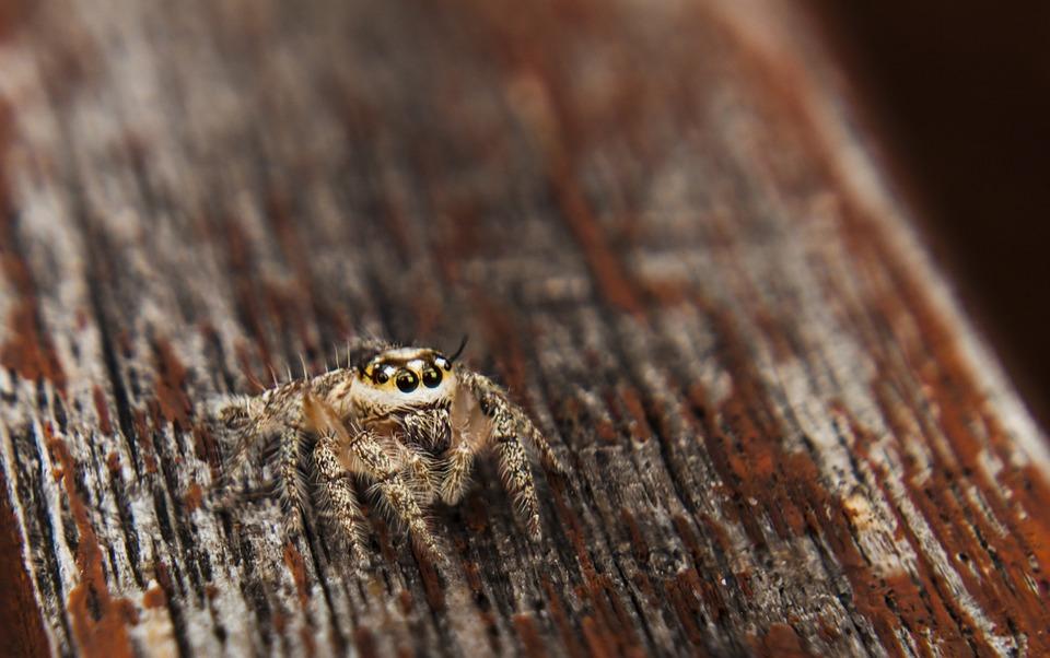 Jumpingspider, Spider, Arachnid, Outdoor