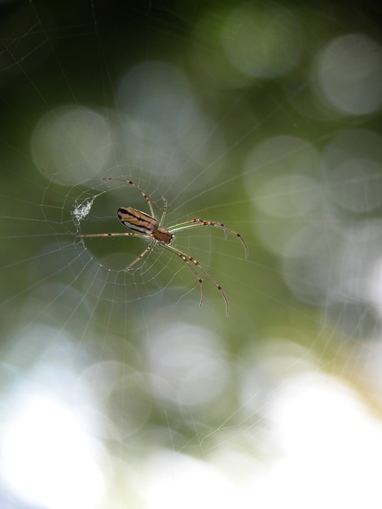 Spider, Arachnid, Web
