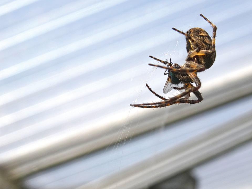 Spider, Spider Catches Fly, Araneus