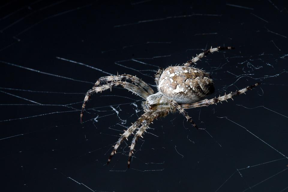 Araneus, Spider, Cobweb, Web, Spider Web, Orbweaver