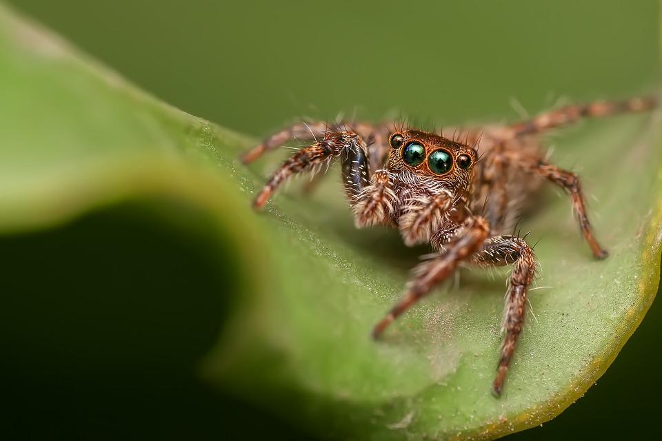 Jumping Spider, Spider, Insect, Macro, Eye