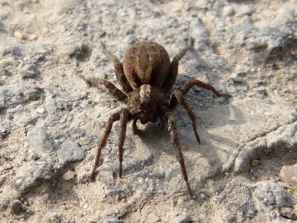 Spider, Arachne, Predator, Eyes