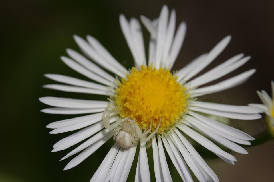 Flower Spider, Spider, Flower, Daisy