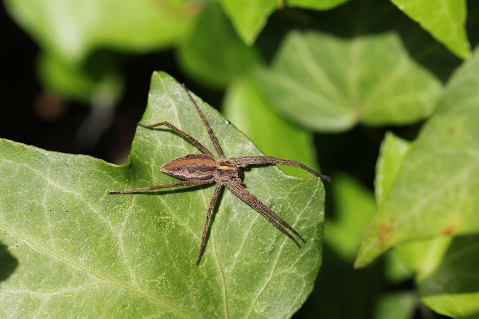 Spider, Insect, Food, Fly, Nature, Legs, Jumping Spider