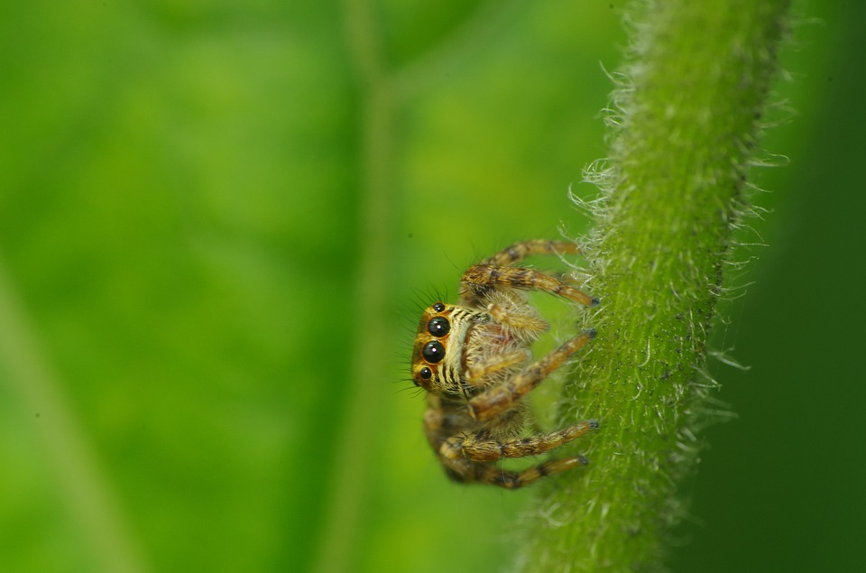 Spider Jump, Macro, Insects