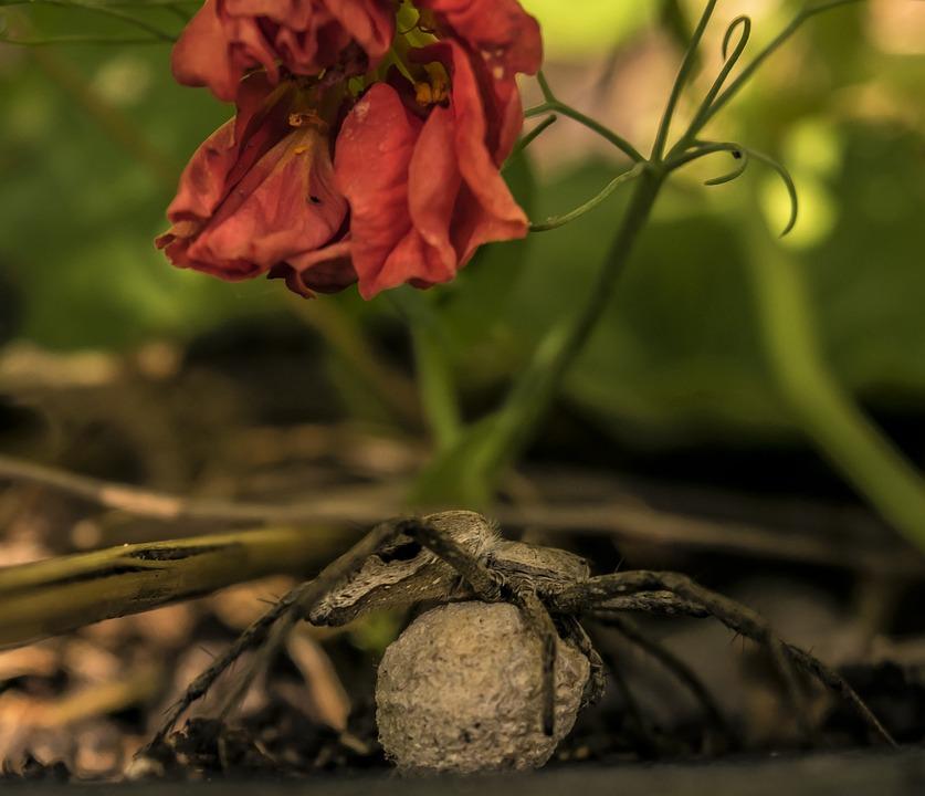 Spider, Egg, Garden, Spider Mother