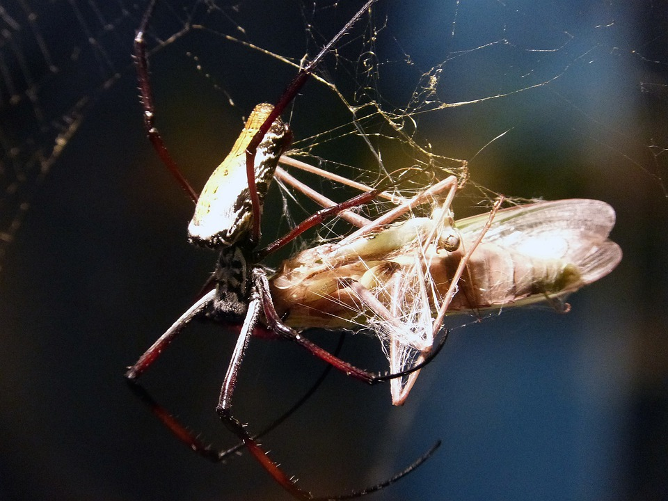 Spider, Arachne, Animal, Predator, Feeding, Butterfly