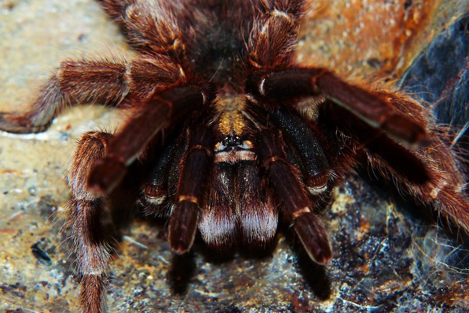 The Golden House, Phormictopus Auratus, Spider, Female
