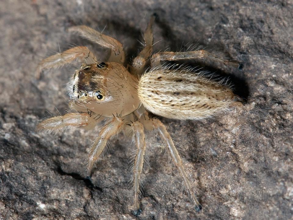 Spider, Jumping Spider, Thiodina Puerpera, Web Spider