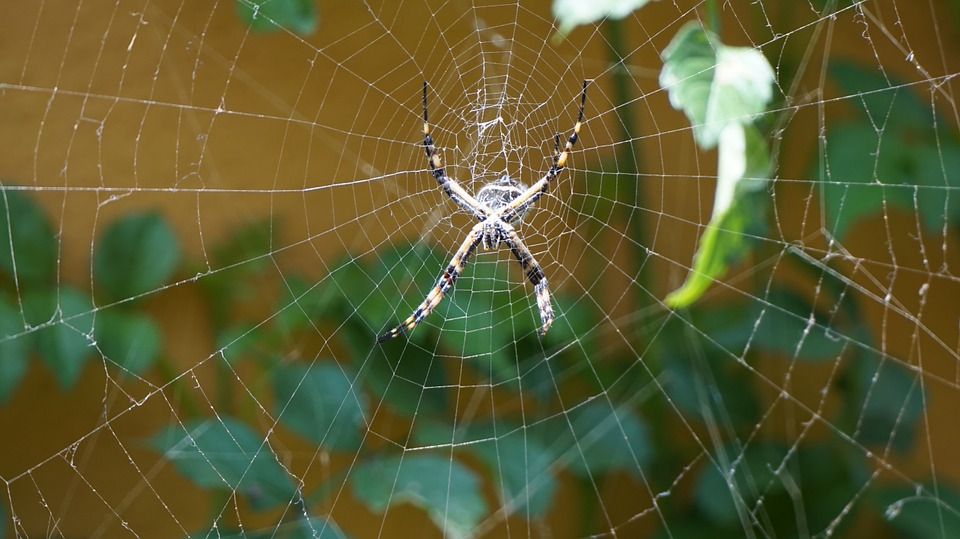 Spider, Arachnid, Web, Insect
