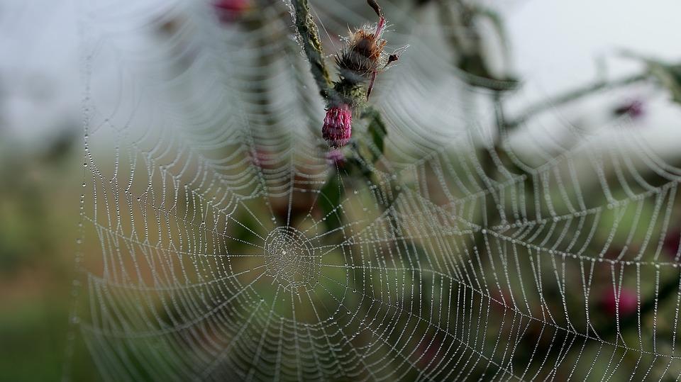 Spider Web, Spider, Insect, Cobweb, Macro