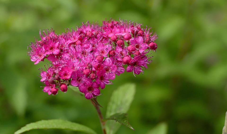 Spiere, Garden, Plant, Nature, Bush, Red, Inflorescence