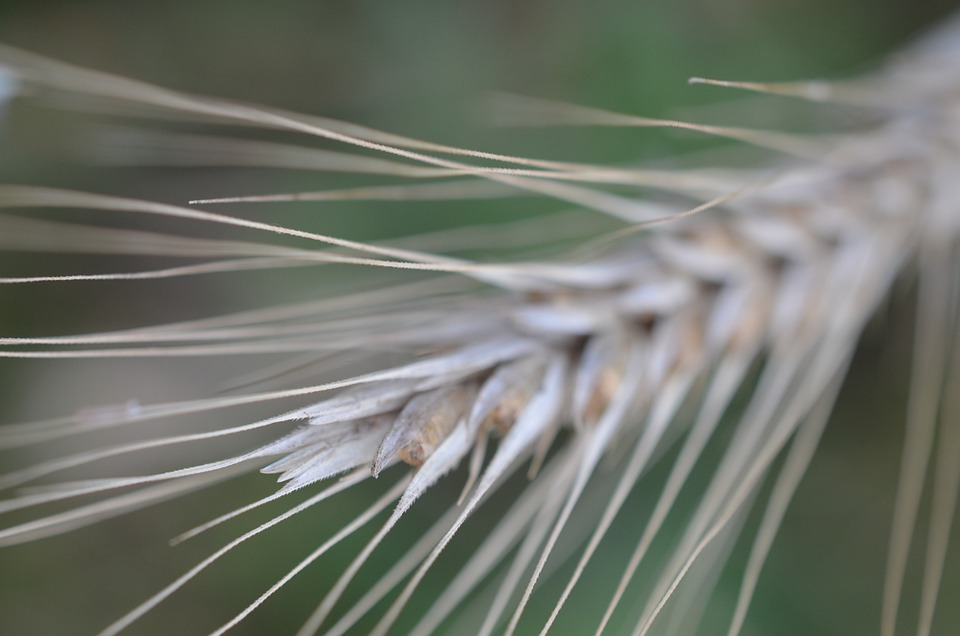 Cereals, Agriculture, Field, Nutrition, Spike, Grain