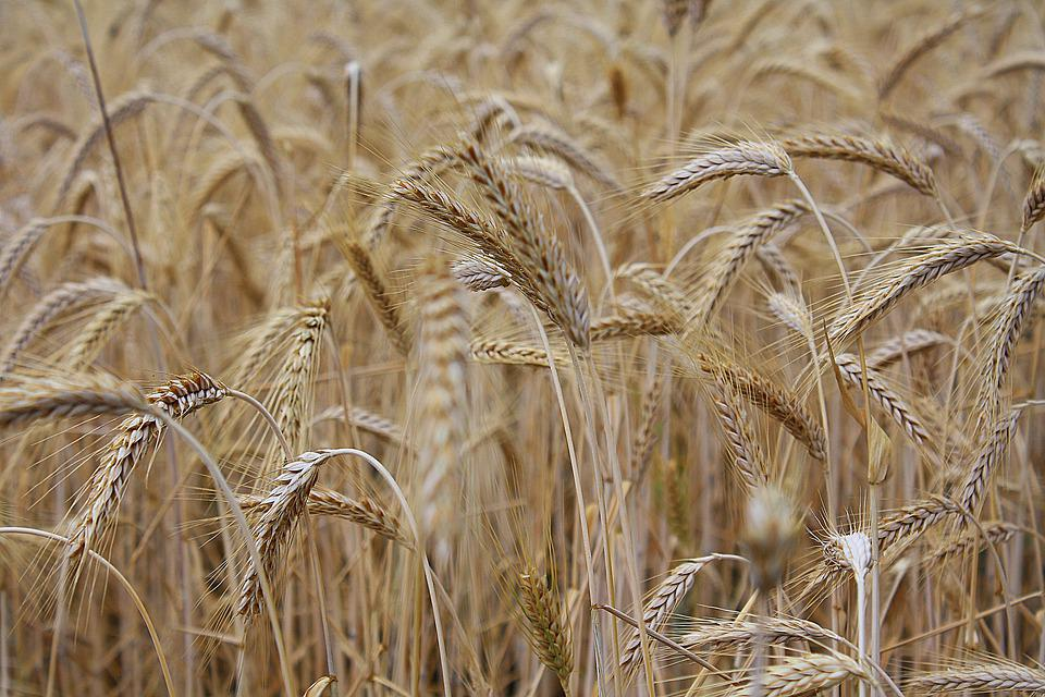 Nature, Cereals, Spike, Field, Plant, Awns, Summer