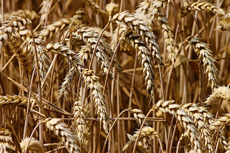 Wheat, Spike, Cereals, Grain, Field, Agriculture