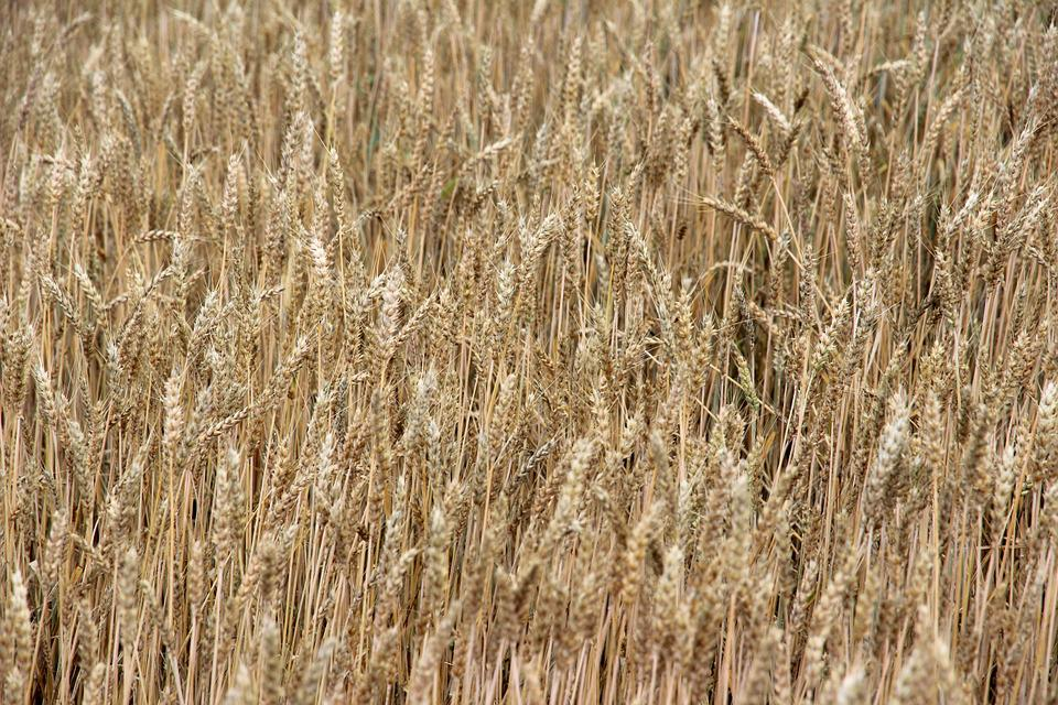 Cereals, Spike, Field, Cornfield, Agriculture, Summer