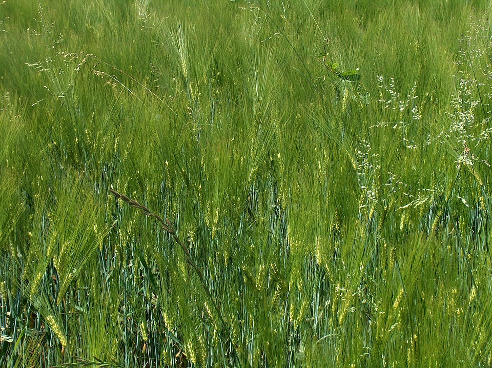 Cereals, Spike, Wheat Field, Field Crops