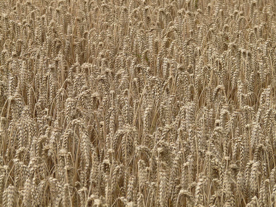 Wheat, Spike, Cereals, Grain, Field, Wheat Field