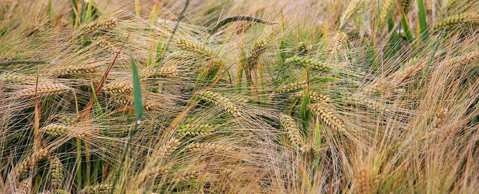 Wheat, Wheat Field, Cereals, Grain, Spike, Cornfield