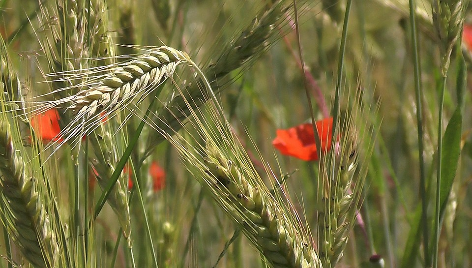 Cereals, Spike, Wheat, Barley, Rye, Barley Field