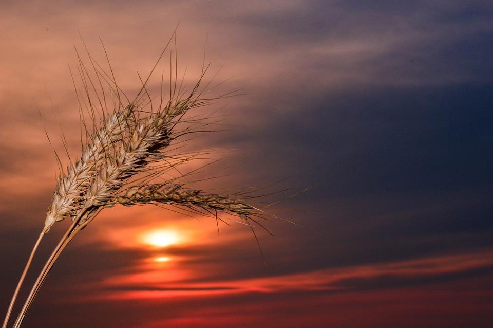 Spikes, Sunset, Wheat, Nature