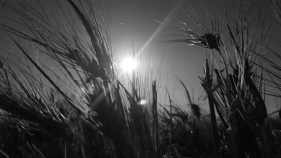 Black, White, Sun, Wheat, Spikes