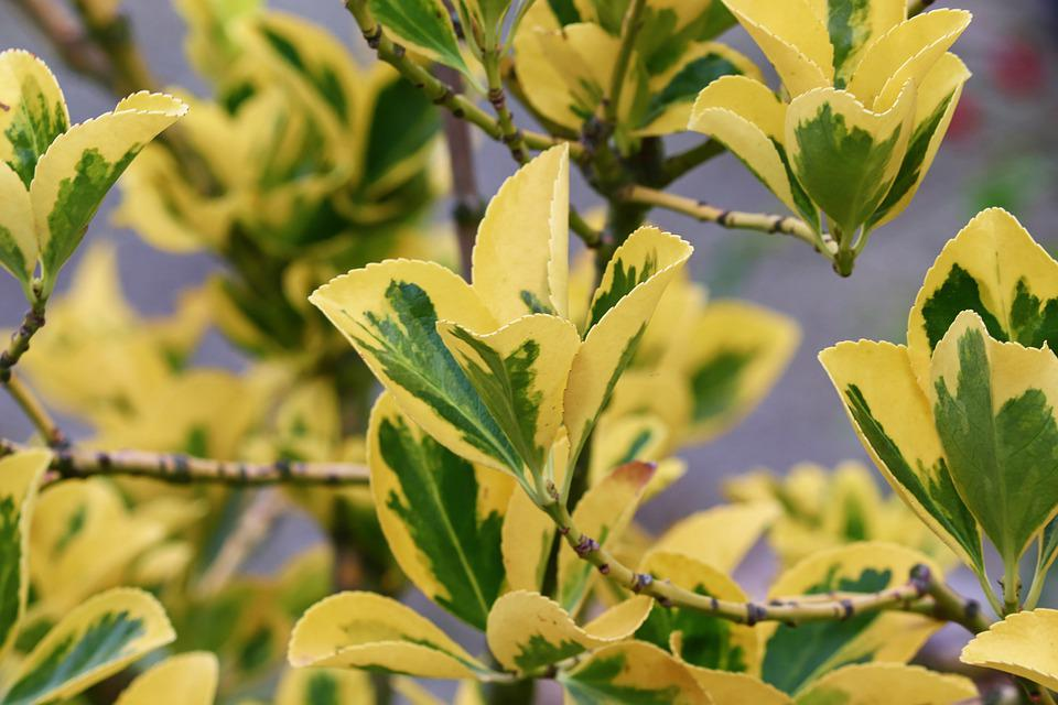 Fortunei, Euonymus, Leaves, Green, Yellow, Spindle Tree
