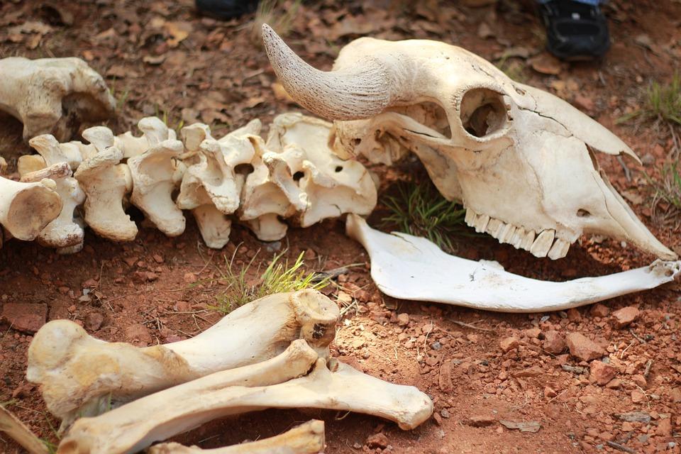 Skeleton, Bones, Animal, Skull, Spine, Backbone, Dead