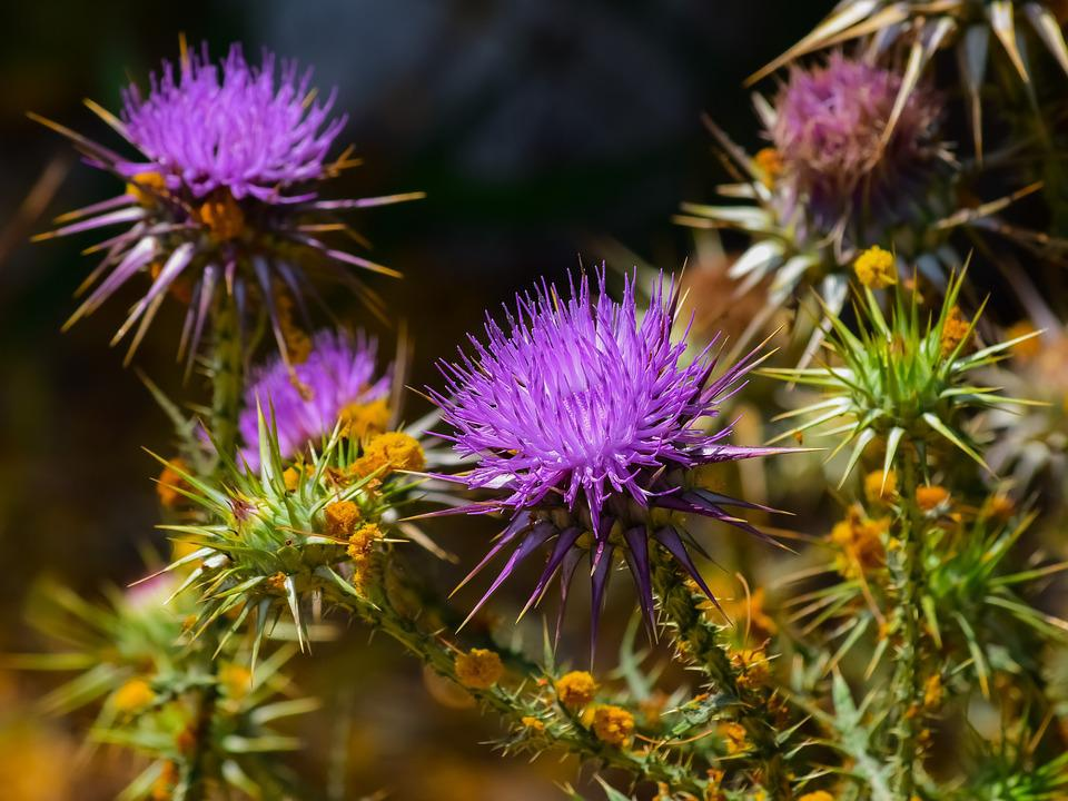 Nature, Flower, Flora, Prickly, Spine, Thistle